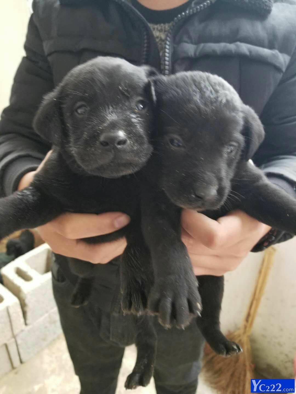 拉布拉多幼犬黑色